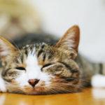 床暖房で暖まる猫