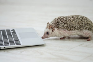 PCを覗くハリネズミ